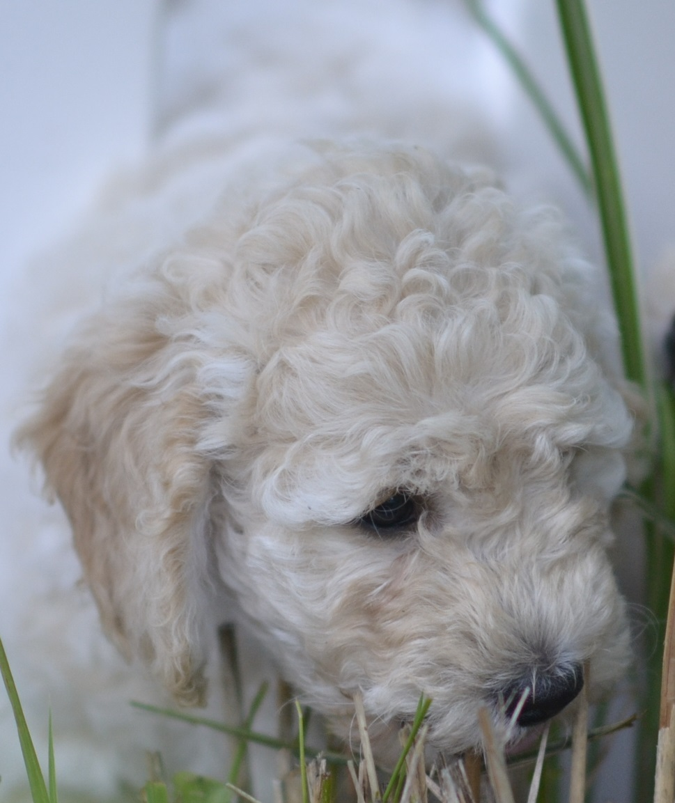 Australian Labradoodle puppy for sale in RI