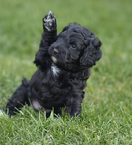 Labradoodle puppy lives in Massachusetts