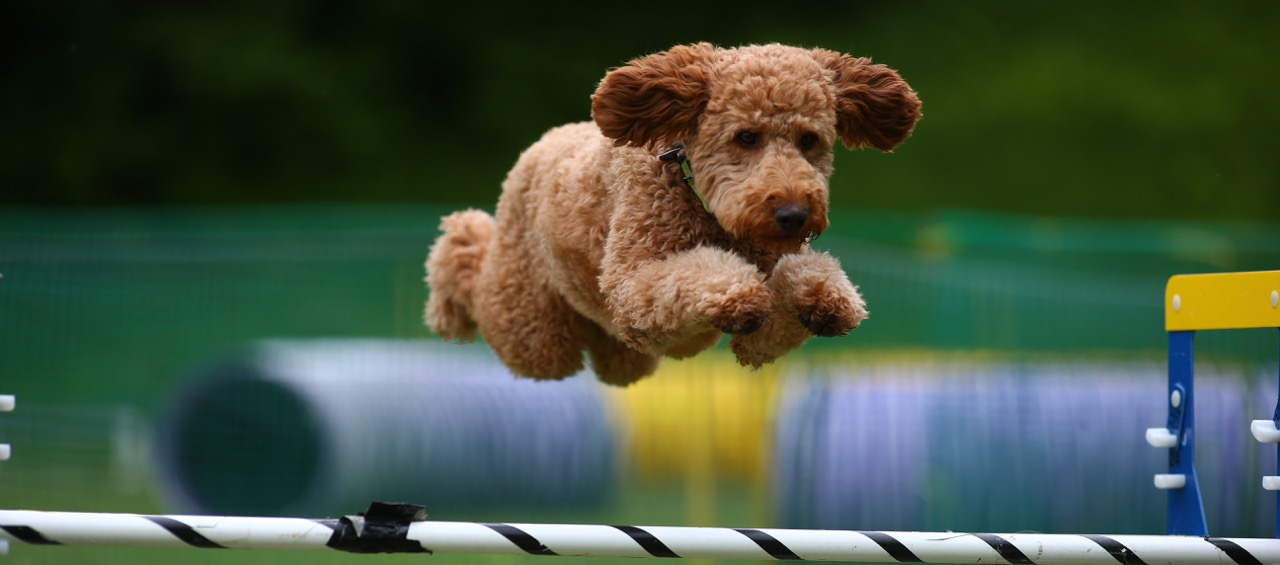 F3 red  labradoodle agility jump