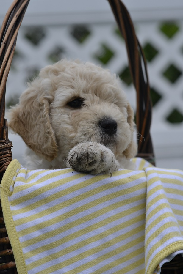 Labradoodle puppy lives in Massachusetts now